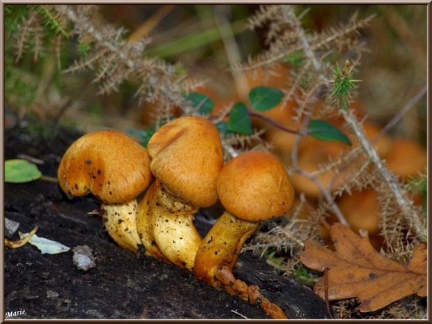 Jeunes Gymnopiles Remarquables ou Pholiotes Remarquables en forêt sur le Bassin d'Arcachon
