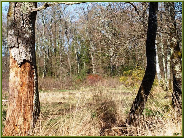 La forêt servant d'écrin à la Fontaine Saint Jean à Lamothe, Commune du Teich, Bassin d'Arcachon