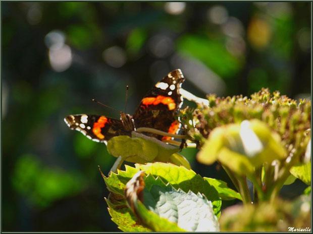 Papillon Vulcain sur Hortensia