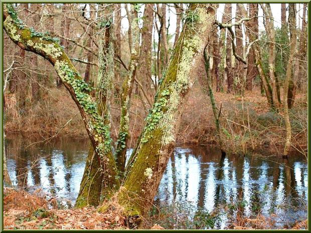 Chênes habillés de lierre et de mousse avec reflets sur le Canal des Landes au Parc de la Chêneraie à Gujan-Mestras (Bassin d'Arcachon)
