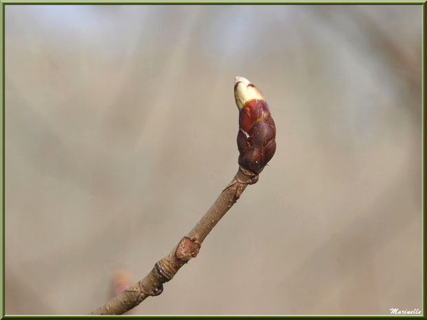 C'est le printemps, les premièrs bourgeons du Marronnier d'Inde ou Marronnier Commun montrent leur nez, flore Bassin d'Arcachon (33)