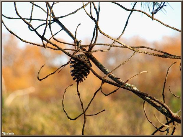 Pigne sur un pin sur le Sentier du Littoral, secteur Moulin de Cantarrane, Bassin d'Arcachon