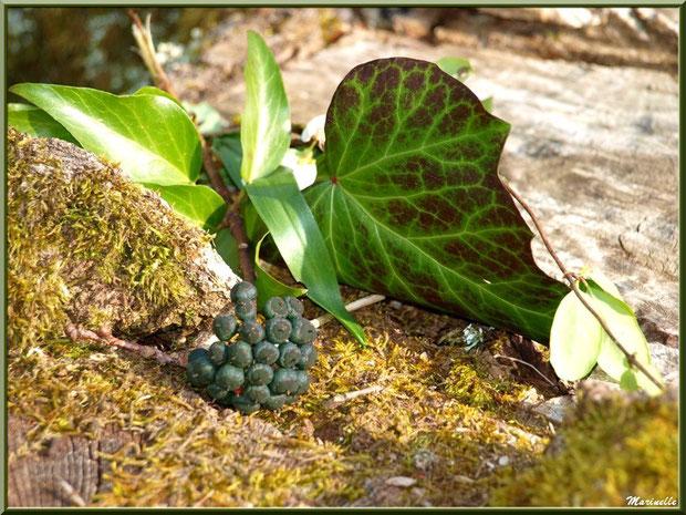 Baies de Lierre à maturité couchées sur un tronc de chêne, flore Bassin d'Arcachon (33)