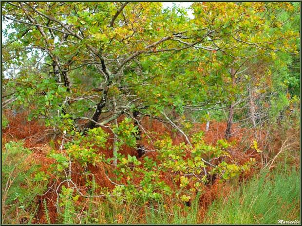 Méli mélo forestier : herbacées, ajoncs, fougères et chênes aux couleurs automnales, forêt sur le Bassin d'Arcachon (33)