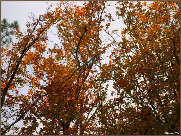 Chênes en tenue automnale, forêt sur le Bassin d'Arcachon (33)