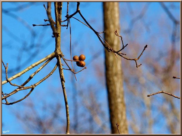Boules de chêne en grappe au Parc de la Chêneraie à Gujan-Mestras (Bassin d'Arcachon)