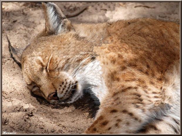 Lynx endormi, Zoo du Bassin d'Arcachon, La Teste de Buch (33)