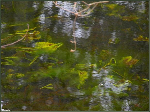 Feuilles de nénuphars en hiver au fil du Canal des Landes au Parc de la Chêneraie à Gujan-Mestras (Bassin d'Arcachon)