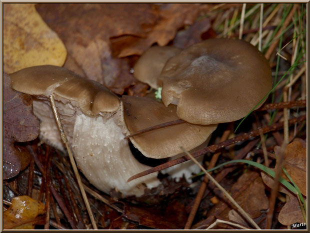 Champignons en couple en forêt sur le Bassin d'Arcachon