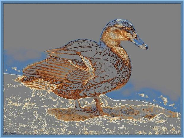 Canard élégant