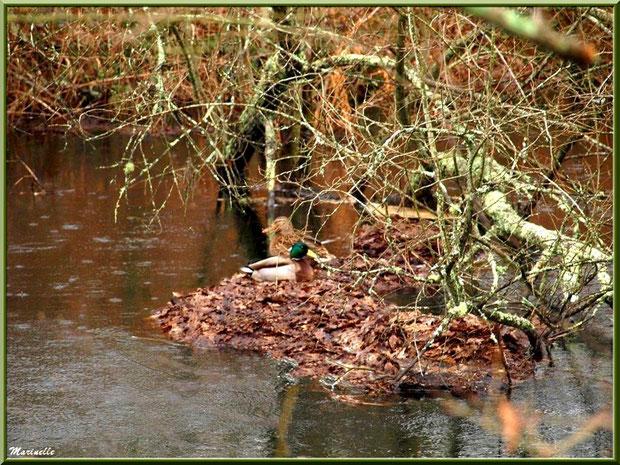Couple de canards nichés au fil du Canal des Landes au Parc de la Chêneraie à Gujan-Mestras (Bassin d'Arcachon)