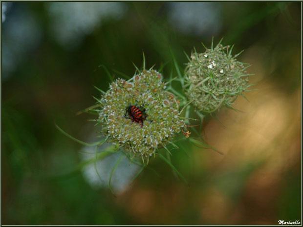 Punaise Arlequin ou Scutellaire Rayée au coeur d'un bouton de fleur de Carotte Sauvage