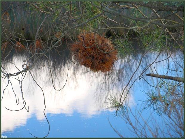 Branche de pin au-dessus d'un réservoir sur le Sentier du Littoral, secteur Moulin de Cantarrane, Bassin d'Arcachon