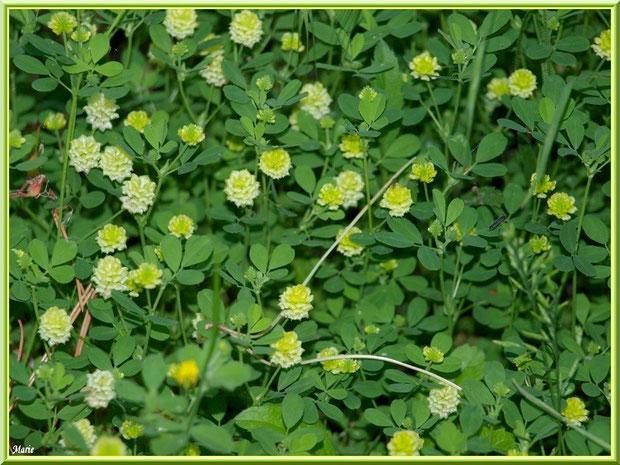 Trèfle en fleurs en campagne à Saint Rémy de Provence, Alpilles (13)