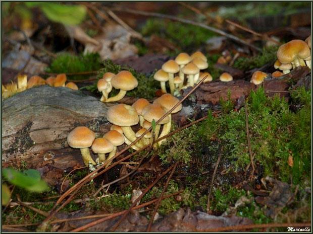 Hypholomes en Touffe en colonie en forêt sur le Bassin d'Arcachon