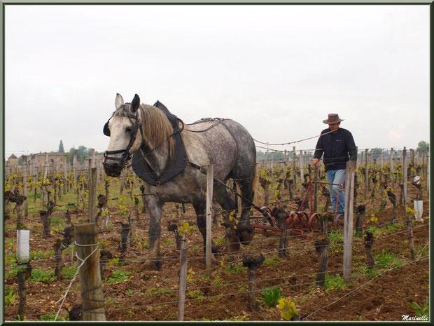"""""""Cheval des Vignes""""au labour dans un vignoble à St Sulpice de Faleyrens (33) en avril 2012"""