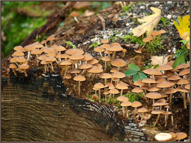 Collybies en colonie sur un tronc coupé en forêt sur le Bassin d'Arcachon