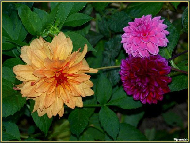 Trio de Dahlias au jardin