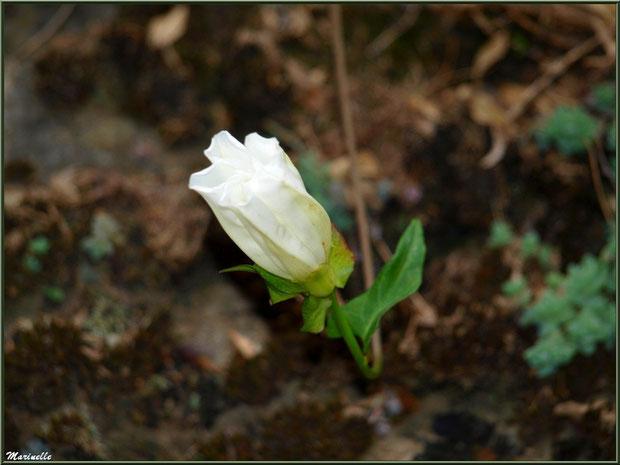 Liseron blanc en bouton en bordure de route au village d'Aas, Vallée d'Ossau (64)