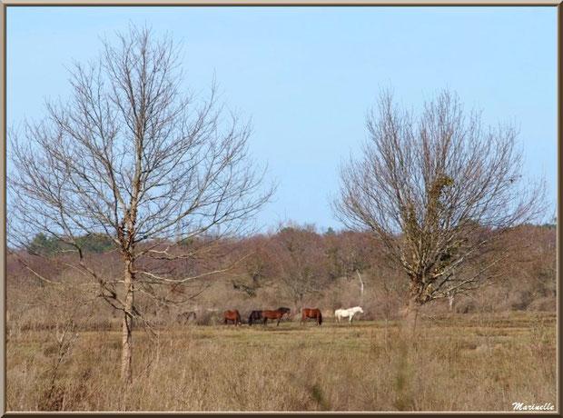Chevaux en pâturage dans les prés salés, Sentier du Littoral secteur Pont Neuf, Le Teich, Bassin d'Arcachon (33)