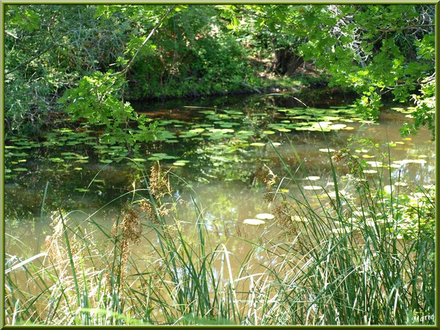 Herbacées, chêne, nécuphars et reflets sur le Canal des Landes au Parc de la Chêneraie à Gujan-Mestras (Bassin d'Arcachon)
