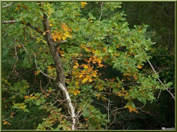 Chêne Pédonculé aux couleurs début automne, flore Bassin d'Arcachon (33)