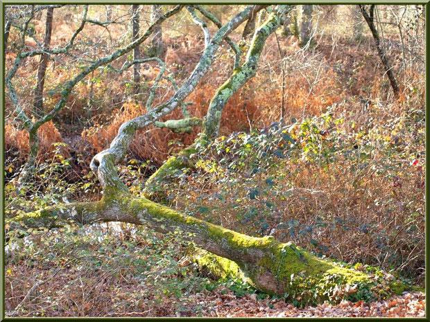 Chêne couché et végétation hivernale au Parc de la Chêneraie à Gujan-Mestras (Bassin d'Arcachon)