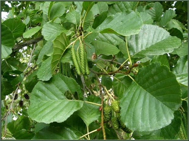 Aulne ou Vergne avec chatons, fruits et feuilles, flore Bassin d'Arcachon (33)