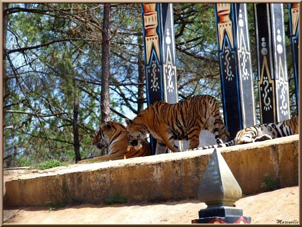 Tigres, Zoo du Bassin d'Arcachon, La Teste de Buch (33)