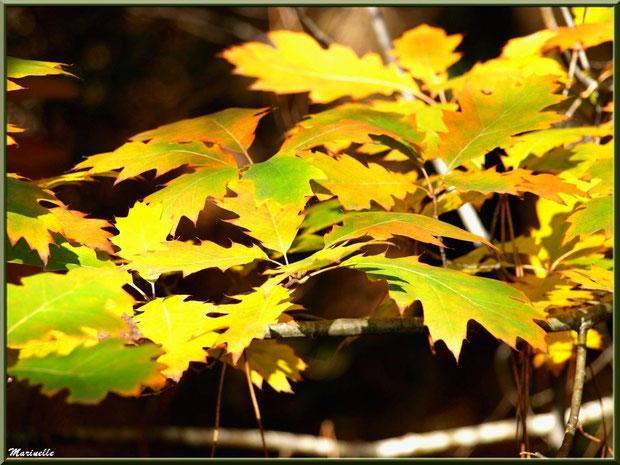 Feuilles de chêne automnal et quelques aiguilles de pin, forêt sur le Bassin d'Arcachon (33)