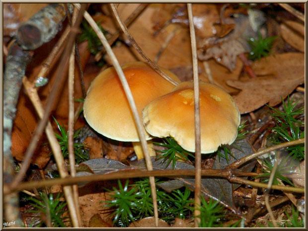 Hypholomes en Touffe en duo en forêt sur le Bassin d'Arcachon