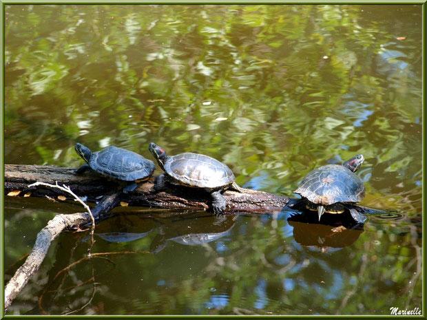 Tortues de Floride en trio sur une branche au fil de l'eau