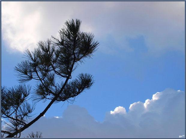 Cîme de pin au ciel en bordure du Sentier du Littoral, secteur Moulin de Cantarrane, Bassin d'Arcachon