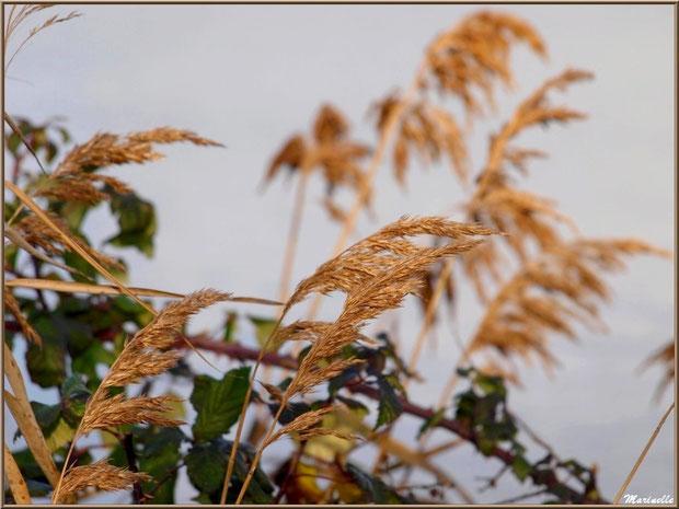 Roseaux et roncier dans la brume hivernale sur le Sentier du Littoral, secteur Moulin de Cantarrane, Bassin d'Arcachon