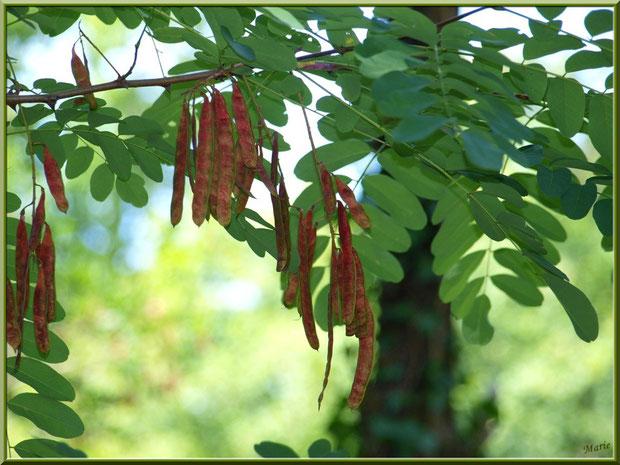 Acacia et ses gousses - photo prise au Parc de la Chêneraie à Gujan-Mestras (Bassin d'Arcachon)