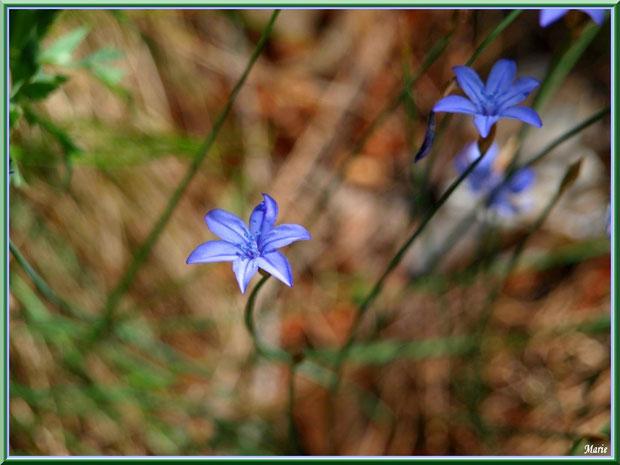 Campanules parmi herbacées, en campagne à Saint Rémy de Provence, Alpilles (13)