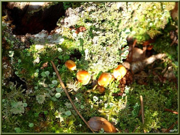 Au soleil, Hypholomes et lichen Cladonie Fimbriée en forêt sur le Bassin d'Arcachon