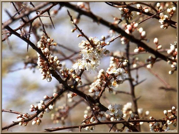Aubépine en fleurs printanières en bordure du sentier forestier, Sentier du Littoral secteur Pont Neuf, Le Teich, Bassin d'Arcachon (33)