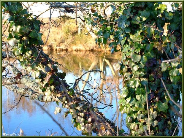 Chêne couvert de lierre en bordure d'un réservoir, Sentier du Littoral, secteur Port du Teich en longeant La Leyre, Le Teich, Bassin d'Arcachon (33)