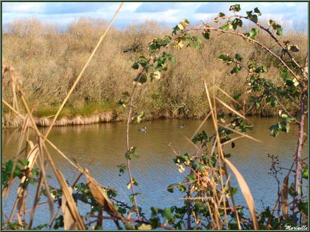 Végétation autour des réservoirs avec foulques au fil de l'eau, en janvier, sur le Sentier du Littoral, secteur Moulin de Cantarrane, Bassin d'Arcachon