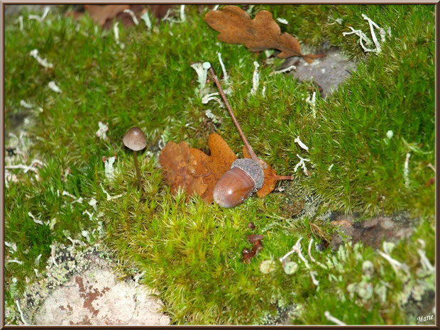 Cropin Desséminé sur lit automnal en forêt sur le Bassin d'Arcachon
