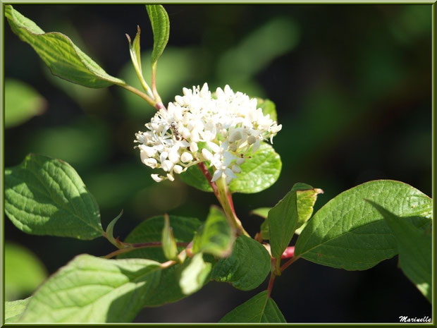 Cornouiller Sanguin ou Bois Puant ou Bois Punais ou Bois Rouge ou Olivier de Normandie ou Puègne Blanche ou Sanguin ou Sanguine en fleurs, flore Bassin d'Arcachon (33)