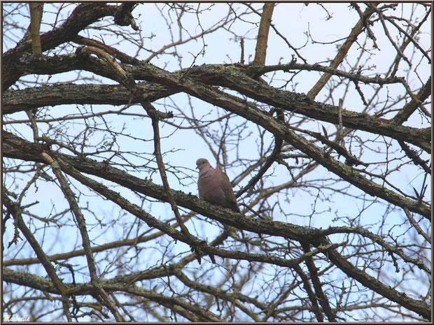 Tourterelle dans un chêne au Parc de la Chêneraie à Gujan-Mestras (Bassin d'Arcachon)