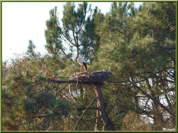 Cigogne dans son nid perché en haut d'un pin, Sentier du Littoral, secteur Port du Teich en longeant La Leyre, Le Teich, Bassin d'Arcachon (33)