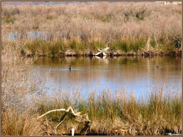 Reflets dans réservoirs avec un couple de canards, Sentier du Littoral, secteur Domaine de Certes et Graveyron, Bassin d'Arcachon (33)