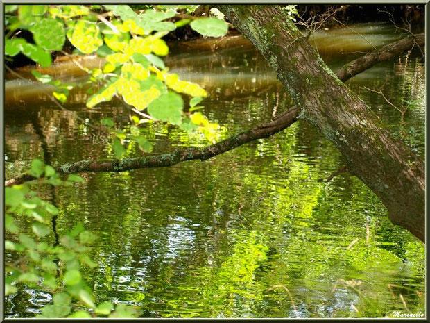 Branche au-dessus de La leyre, verdoyance et reflets, Sentier du Littoral au lieu-dit Lamothe, Le Teich, Bassin d'Arcachon (33)