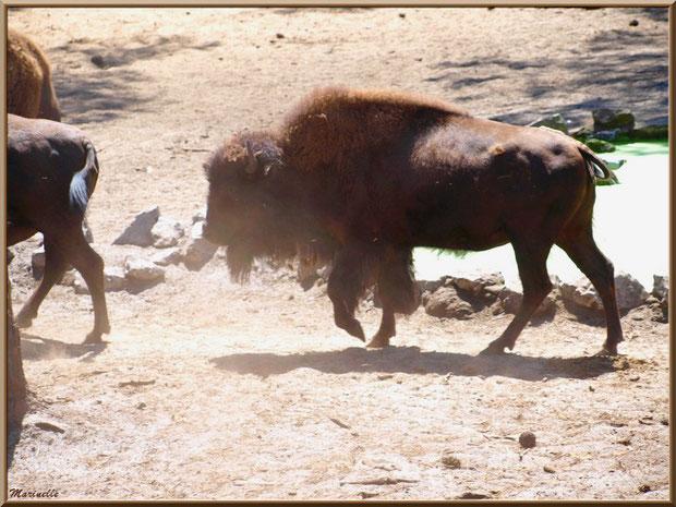 Bisons, Zoo du Bassin d'Arcachon, La Teste de Buch (33)