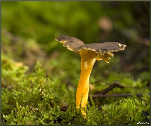 Chanterelle solitaire en forêt sur le Bassin d'Arcachon