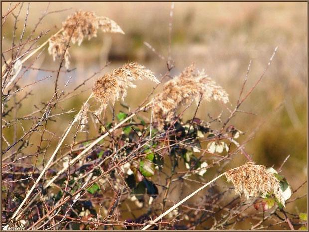 Roseaux et roncier hivernaux en bordure d'un réservoir, Sentier du Littoral, secteur Domaine de Certes et Graveyron, Bassin d'Arcachon (33)