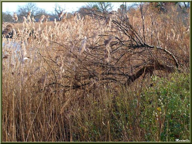 Méli-mélo végétal en bordure d'un réservoir, Sentier du Littoral, secteur Port du Teich en longeant La Leyre, Le Teich, Bassin d'Arcachon (33)